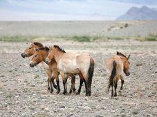 Лошади Пржевальского в монгольской степи, Фото: Мирослав Бобек, архив пражского зоопарка