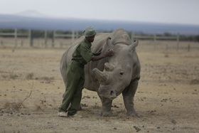 Keeper Zachariah Mutai attends to Fatu, one of only two female northern white rhinos left in the world, Ol Pejeta Conservancy, Kenya, March 2, 2018, photo: CTK