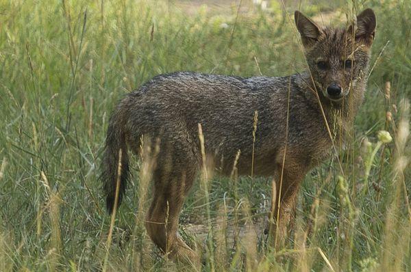 Young Golden jackal near Milovice, photo: CTK