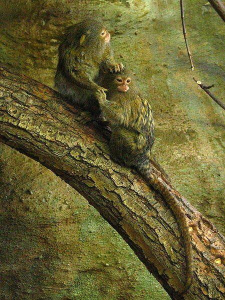 the new world monkeys the dwarfing