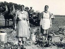 Sklizeň chmele v obci Přestavlky, 60. léta, ilustrační foto: CC-BY-SA-4.0, Jana Zemanová