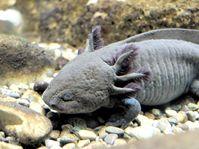 Axolotl (Ambystoma mexicanum) Foto: Faldrian / CC BY-SA 3.0