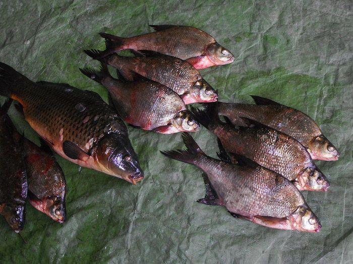 La antigua tradici n de la cr a de peces en el para so for Cria de peces en cautiverio