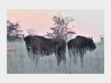 European bison, photo: CTK
