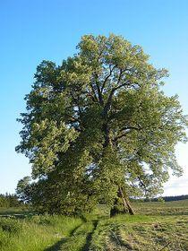 Linden tree, photo: Public Domain