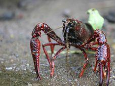 Roter Sumpfkrebs (Foto: MikeMurphy, Public Domain)