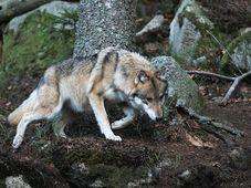 Vlk v Srní, foto: Jiří Kec / Návštěvnické centrum Srní
