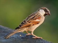 Sparrow, photo: J. M. Garg, CC 3.0