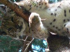 Le lynx, photo: Zuzana Mašková / Archives du parc national de Šumava