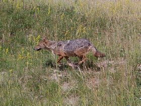 Female Golden jackal near Milovice, photo: CTK
