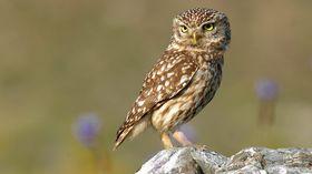 Little Owl, photo: Trebol-a, CC BY-SA 3.0