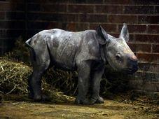 Black rhino, photo: Hynek Glos / Dvůr Králové Zoo