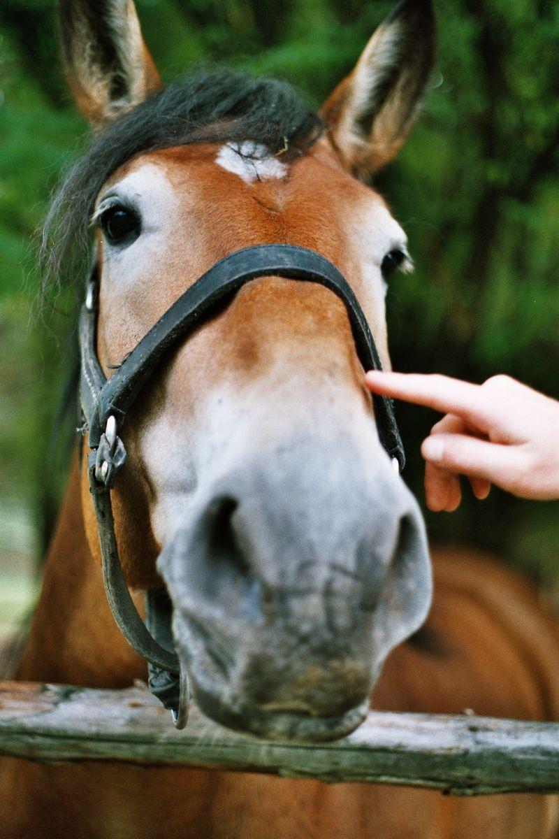 Roß Pferd