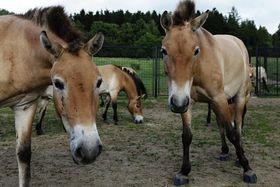 Les chevaux de Przewalski, photo: Miroslav Bobek, Zoo Praha