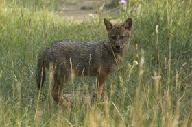 Young Golden jackal near Milovice, photo: CTK