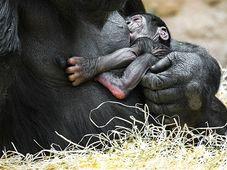 Shinda mit ihrem Affenbaby (Foto: Archiv des Prager Zoos)
