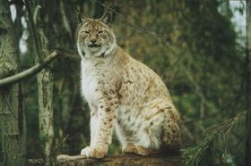 Lynx, photo: Silke Sohler, CC 3.0