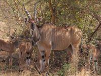 Western Derby eland, photo: Karolína Brandlová