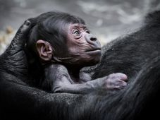 Samice Shinda s mládětem, foto: archiv Zoo Praha