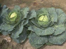 Sauerkraut - zelí - kapusta (Foto: Bill Tarpenning, Public Domain)