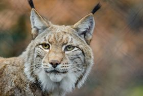 Lynx, photo: CC0 Public Domain