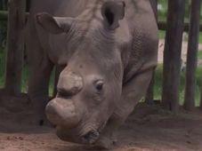 Súdán, el rinoceronte blanco, foto: ČT24