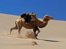 Kamel - velbloud - ťava (Foto: hbieser, Pixabay / CC0)
