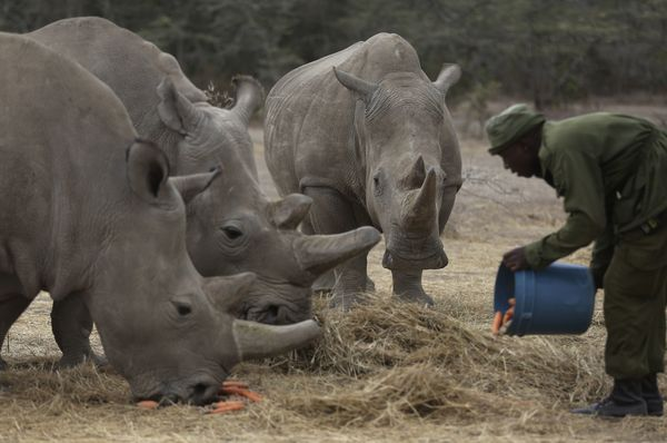 Keeper James Mwenda feeds two female northern white rhinos left in the world and a southern rhino in the pen at the Ol Pejeta Conservancy, Kenya, March 2, 2018, photo: CTK