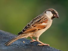 Sparrow, photo: J. M. Garg, CC 3.0