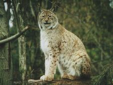 Lynx, photo: Silke Sohler, Creative Commons 3.0