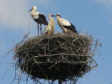 White stork, photo: Monika Betley, CC BY-SA 3.0