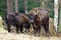 European bison at the Ralsko nature reserve, photo: Jana Zechmeisterová, archive of the Army of the Czech Republic