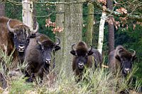 European bisons at the Ralsko nature reserve, photo: Jana Zechmeisterová, archive of the Army of the Czech Republic