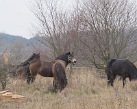 Exmoor ponies in Milovice, photo: Michal Trnka
