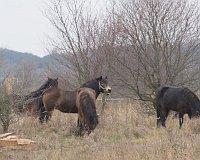Exmoor ponies in Milovice, photo: Michal Trnka