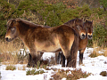 Exmoor ponies, photo: Mark Robinson, CC 2.0 license