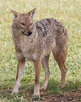 Golden jackal, photo: Artemy Voikhansky, CC BY-SA 3.0