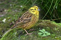 Yellowhammer, photo: Alan Vernon, CC 3.0 license