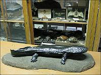 """""""Letzter"""" Riesensalamander in Tschechien (Foto: Archiv der Naturwissenschaftlichen Fakultät der Karlsuniversität)"""