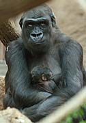 Kijivu with her baby gorilla, photo: CTK