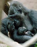 Kijivu with her baby gorilla, on the left is curious Moja, photo: CTK