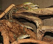 The Komodo dragon babies in Prague Zoo, photo: CTK