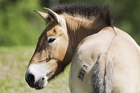 Przewalski-Pferd (Foto: ČTK)