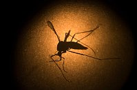 Aedes aegypti mosquito, photo: CTK