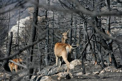 Red deer walk through charred trees on Mount Parnitha north of Athens on Monday, Aug. 6, 2007