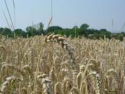 Field of wheat in Germany