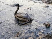 The oil spill affected hundreds of thousands of birds