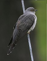 Cuckoo, photo: Steve Garvie, Creative Commons 2.0