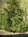 Yew tree - the tree of the year 2005