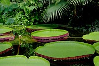 Victoria Amazonica, photo: Jardin des plantes de Liberec